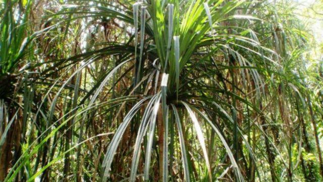 La planta que crece donde hay diamantes