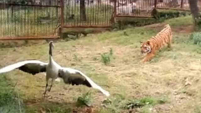 Журавль и тигр