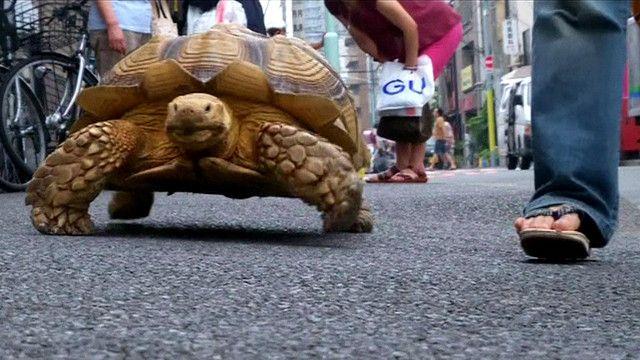 Rùa Bon-chan đi bộ cùng chủ trên đường phố Tokyo