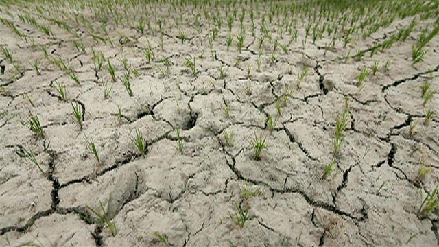 Засохшее рисовое поле