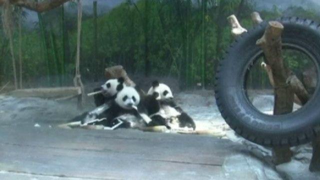 Панды-тройняшки в китайском зоопарке