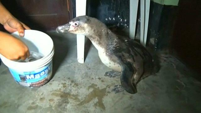 Pinguim capturado no Peru (Foto: BBC)