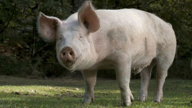 pig transplant