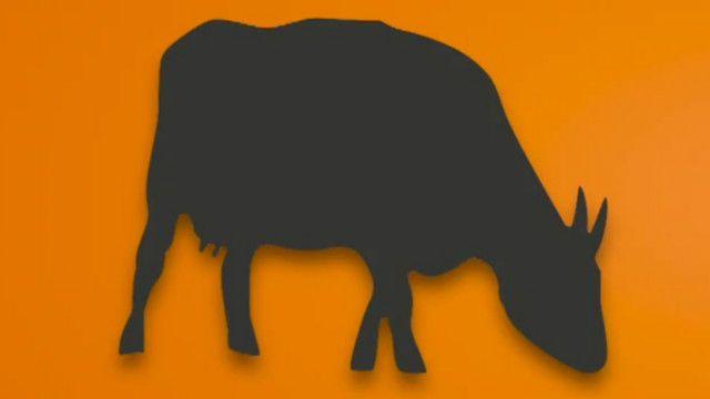 Guía Animada Por Qué Hay Vigilantes De Vacas En India Bbc News
