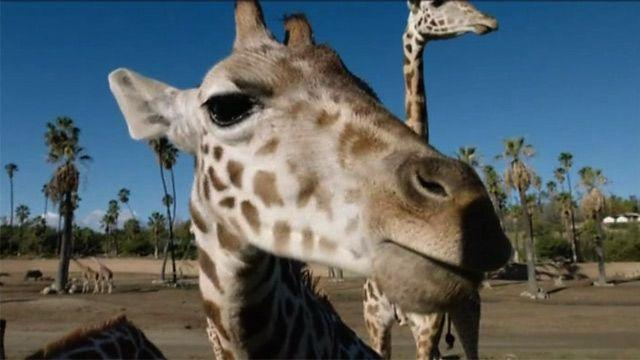 Молодые жирафы