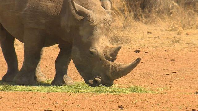 rhinos_poaching_