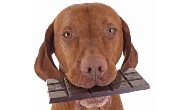 Perro comiendo chocolate