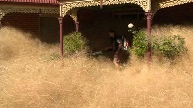 Перекати-поле в Австралии