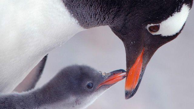 पेंगुइन अंटार्कटिका