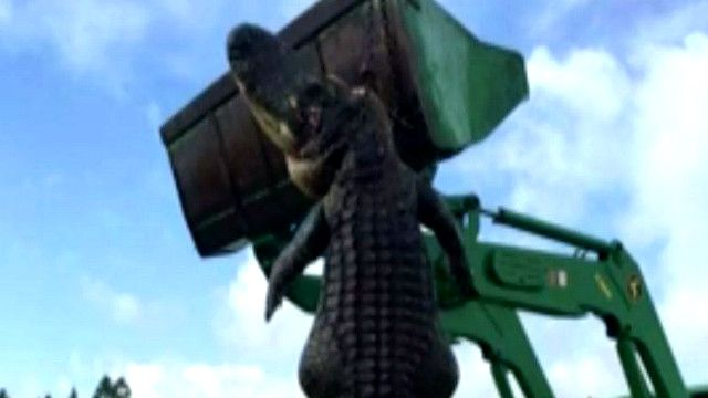 аллигатор, убитый во Флориде
