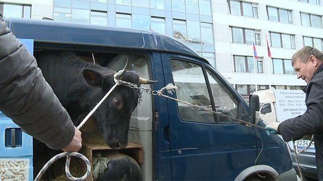 Корова у департамента недвижимости Москвы