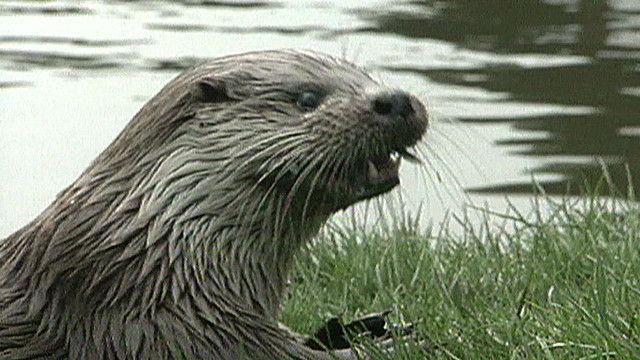 uk_otters_