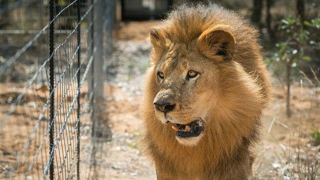 León rescatado de un circo