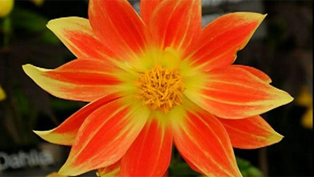 Цветок на выставке в Челси