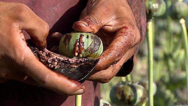 ஆப்கானிஸ்தானில் மீண்டும் அதிகரிக்கும் ஓப்பியம் விளைச்சல்