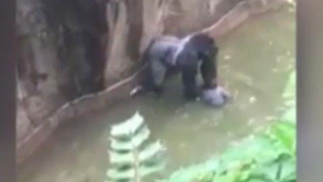 Khỉ đột Harambe và bé trai bốn tuổi bị rơi vào chuồng khỉ