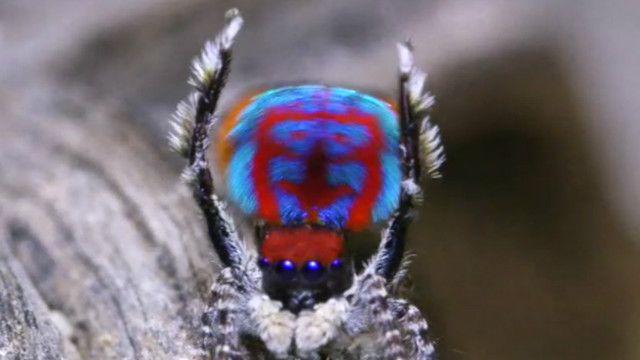 Пауки-павлины: не кусаются и очень красивы