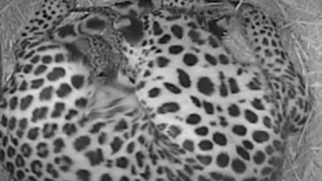 дитинчата амурського леопарда