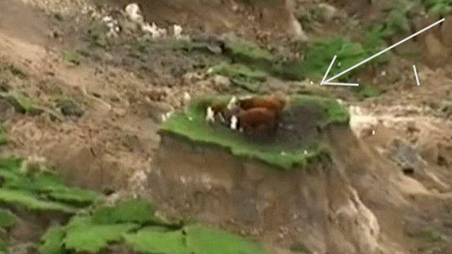 корови на клаптику
