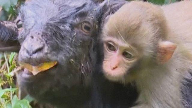 Обезьянка нашла приют среди коз