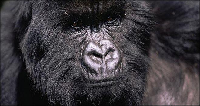 6452a6959c7c Image caption En la región de Virunga Massif habita la mayoría de los  gorilas de montaña del mundo.