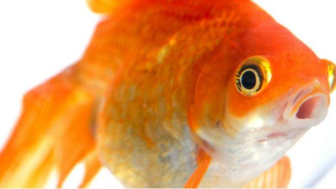 أسرار لا تعرفها عن أسماك الزينة 141030124420_vert_cap_gold_fish_640x360_bbc_nocredit
