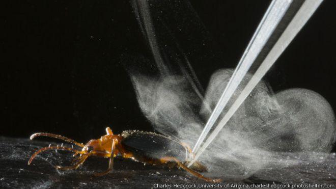 Otros insectos segregan esta sustancia pero el escarabajo bombardero tiene una particularidad: es capaz de expulsarla a distancia.