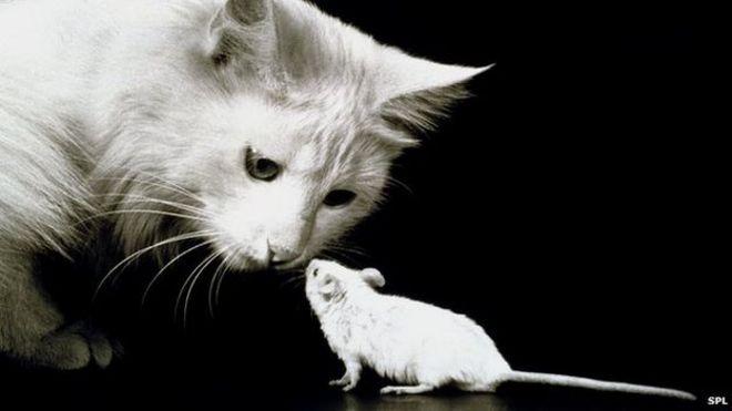 El arma secreta de los gatos para cazar ratones  BBC Mundo