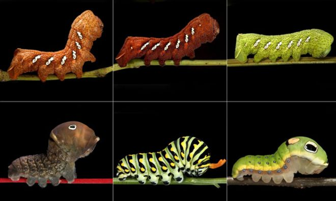 Arriba: tres colores de  Eumorpha achemon. Abajo: tres variedades de la oruga