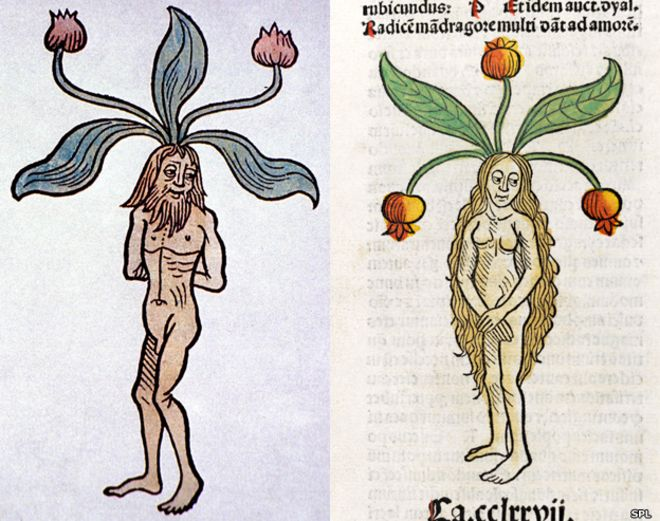 Mandrágora - antiguas ilustraciones