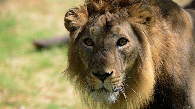 Foto genérica de un león