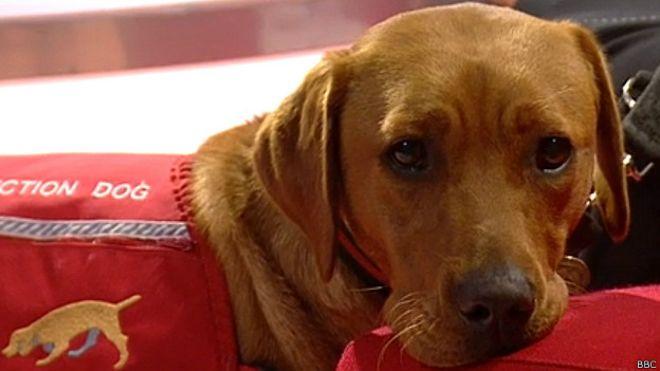 Perro labrador entrenado para diagnosticar el cáncer