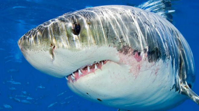 القرش الأبيض الكبير: 151013195933_the_truth_about_great_white_sharks_640x360_alexmustardnpl_nocredit