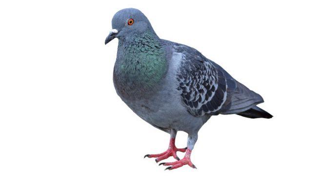 Resultado de imagen para paloma