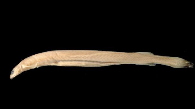Es verdad que el pez candirú se alimenta de genitales humanos? - BBC ...