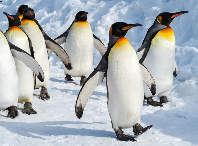 Пингвины занимаются сексом для удовольствия