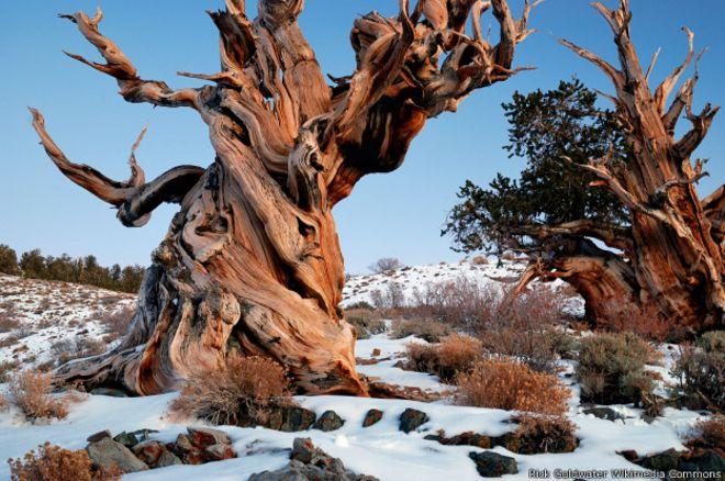 Por Qué Nunca Vas A Poder Conocer El árbol Más Viejo Del Mundo Bbc
