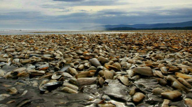 Miles de almejas en las orillas de la isla de Chiloé