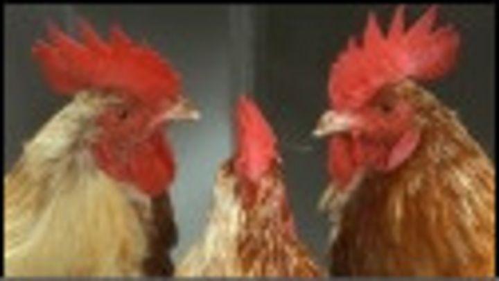 अंडा पहले आया या मुर्गी? - BBC News