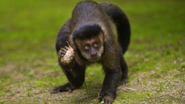 Locos Por La Fruta Los Monos Americanos Comen 50 Por Día Bbc News