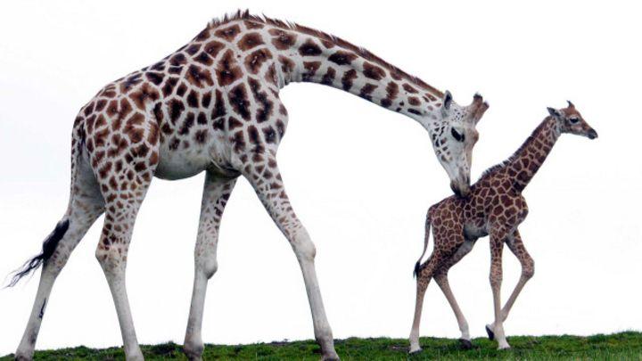10 Jirafa Bebé dado corta