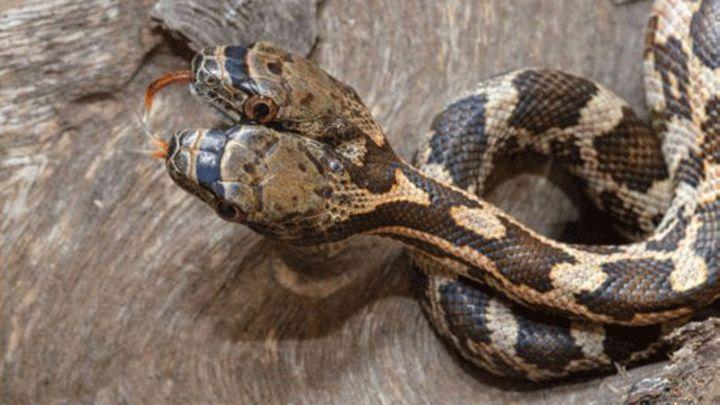 La impresionante serpiente de dos cabezas que fue encontrada en EE ...
