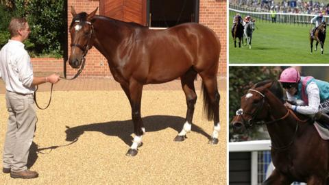 Frankel at Banstead Manor Stud, and on the racetrack