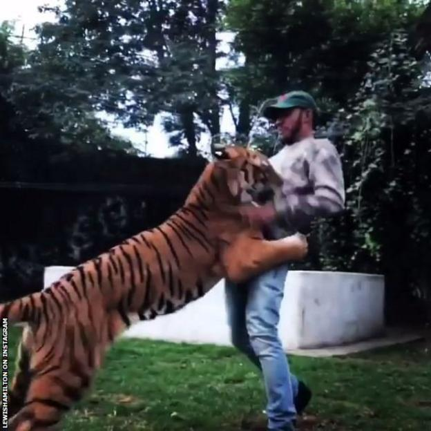Lewis Hamilton plays with a tiger