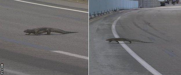 Lizard on track