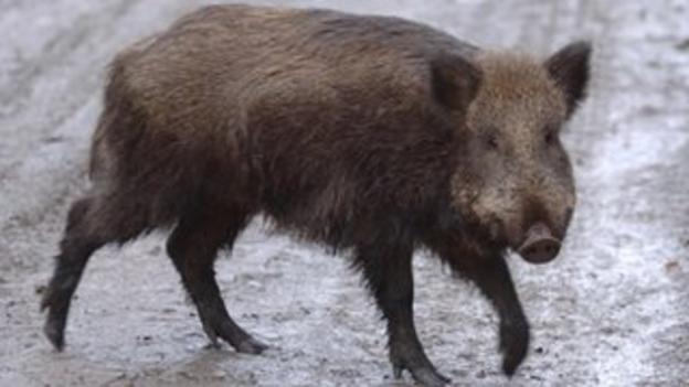 Forest of Dean wild boar