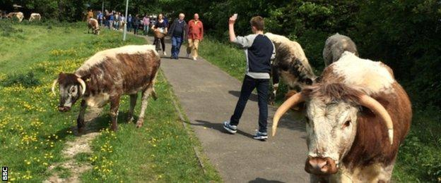 Cows and Cambridge United