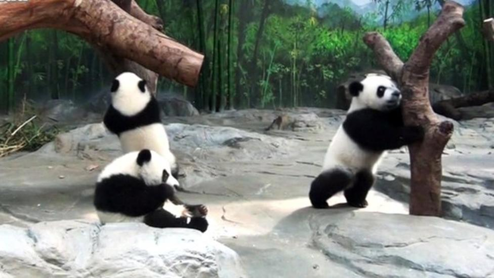 Panda triplets to celebrate birthday