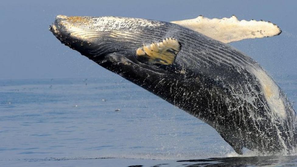 Whale numbers 'increasing' around Australia