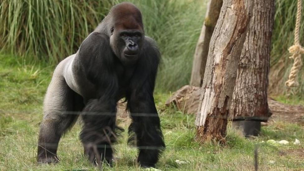 """Minor incident"" after gorilla recaptured"